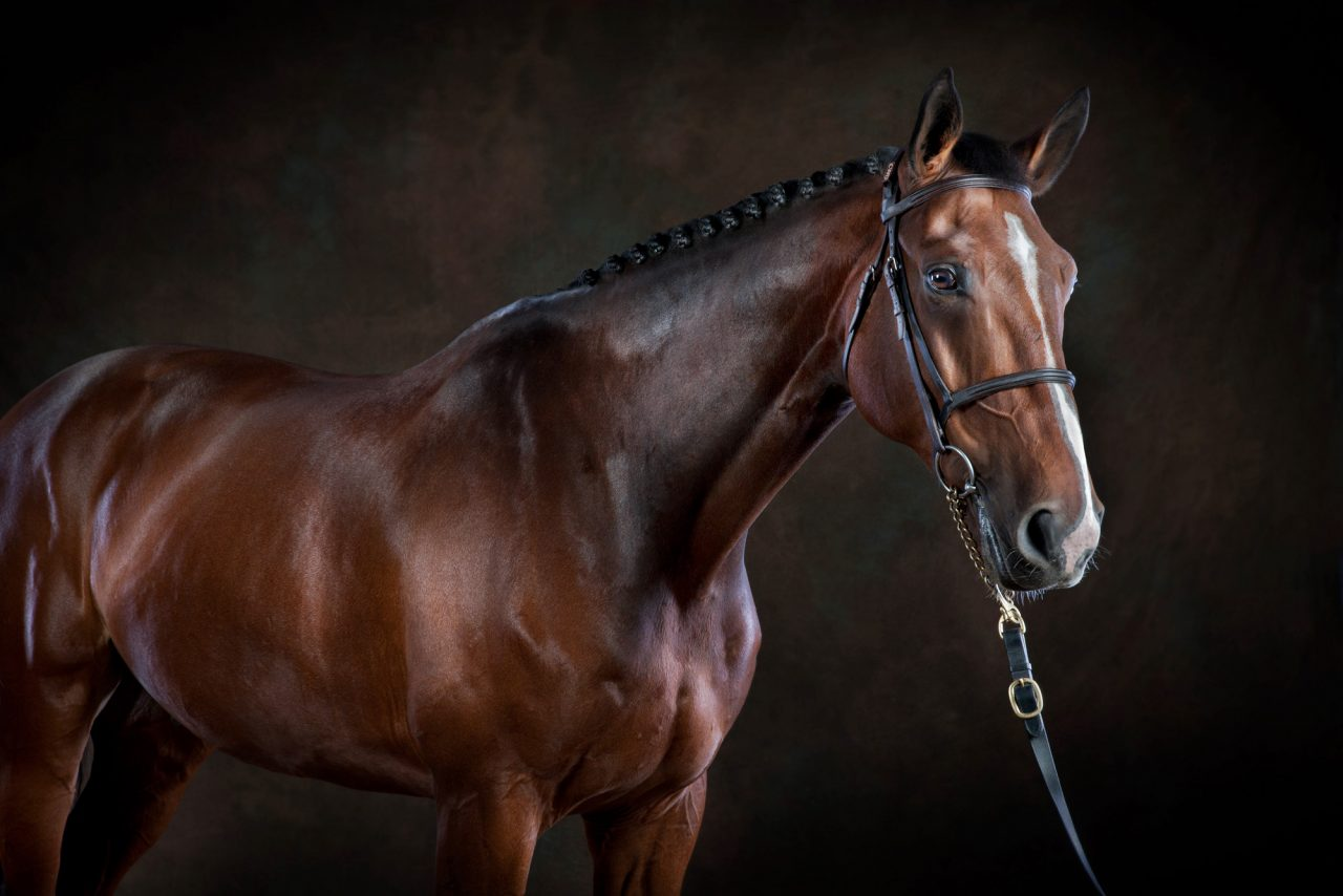 Brown thoroughbred horse posed in front of a dark brown background