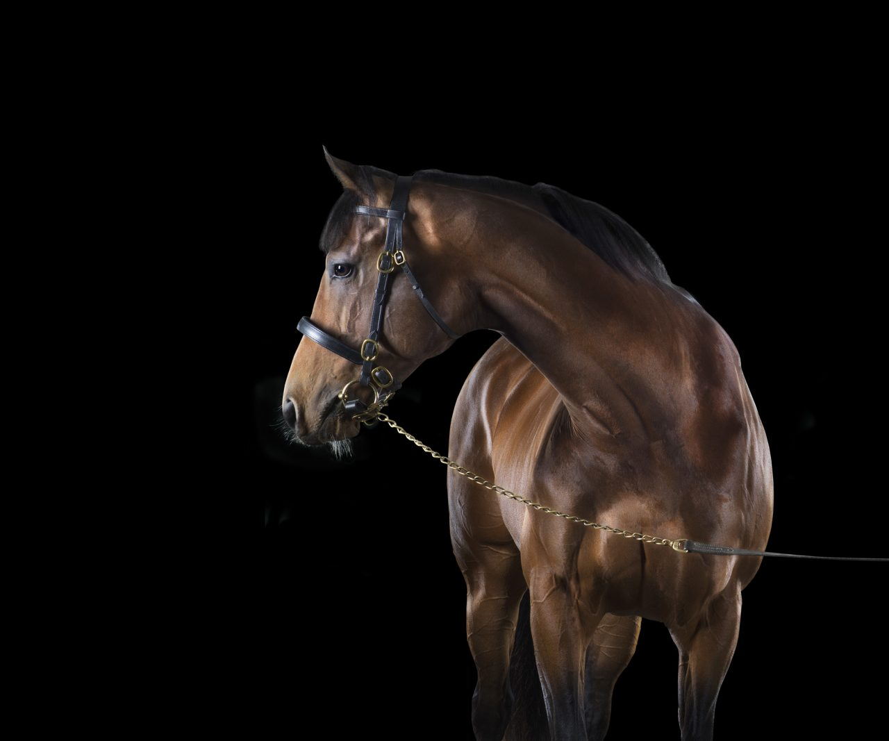 brown thoroughbred horse posed in front of a black background
