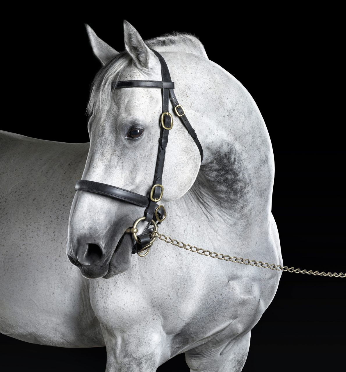 white thoroughbred posed in front of a black background
