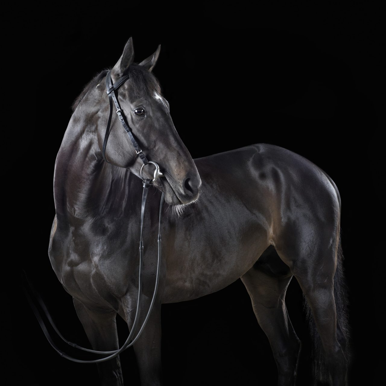 black thoroughbred horse posed in front of a black background