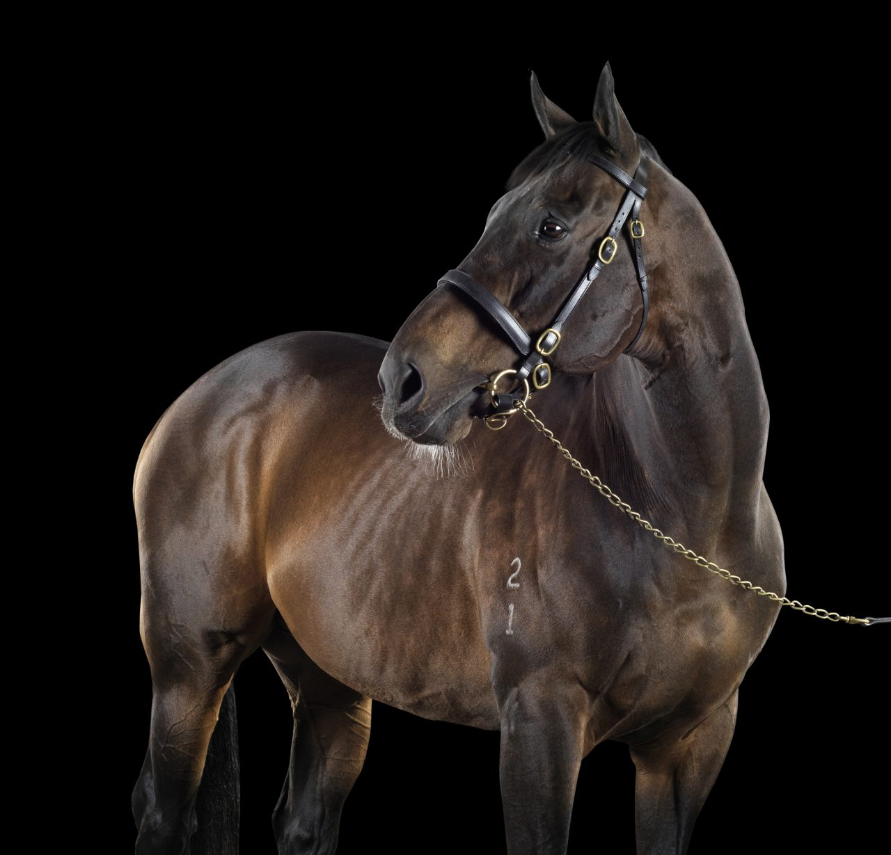 lighr-brown thoroughbred horse in front of a black background