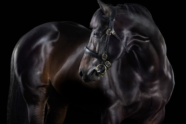 Black horse posed laterally in front of a dark background